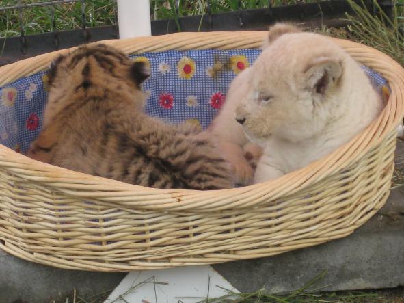 """тигрята - Сафари-парк """"Тайган"""""""
