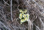 цветущие примулы - Каньон реки Арпат